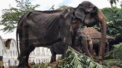 '축제 동원' 70세 코끼리의 사진에 동물학대 논란이 일고