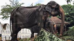L'immagine di questa elefantessa malata e malnutrita sta facendo indignare tutto il