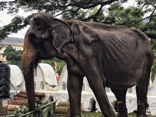 Tikiiri, elefantessa costretta ad esibirsi a 70 anni: malata e