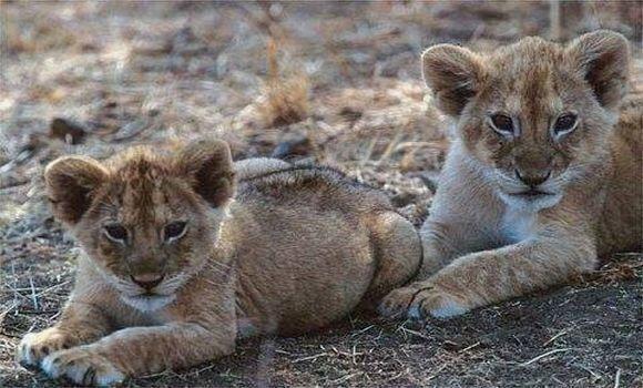 Jardin d'Essai d'El Hamma: deux lionceaux décèdent après avoir contracté le