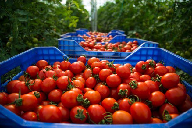 Le Maroc a vendu plus de tomates à l'Union européenne cette