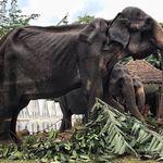 Σοκαριστικές εικόνες δείχνουν αποσκελετωμένο ελέφαντα που αναγκάζεται να δουλέψει στην