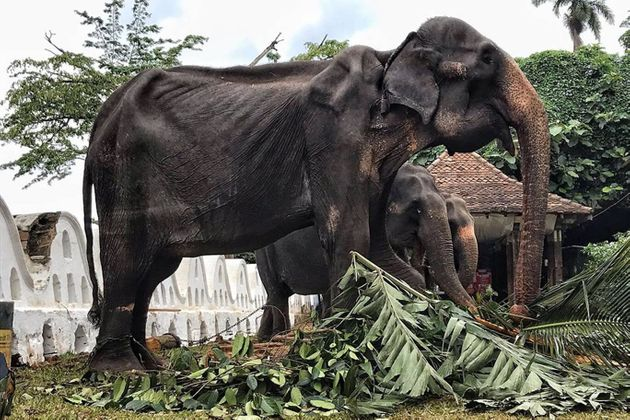Σοκαριστικές εικόνες δείχνουν αποσκελετωμένο ελέφαντα μετά από παρέλαση στη Σρι
