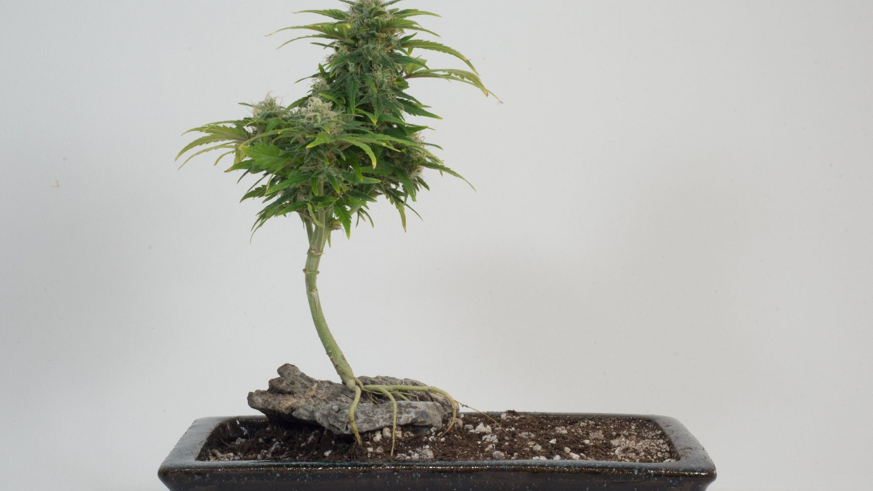 ▶ Peep This Cannabis Bonsai Tree