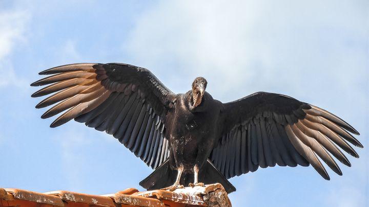 A black vulture in Brazil.