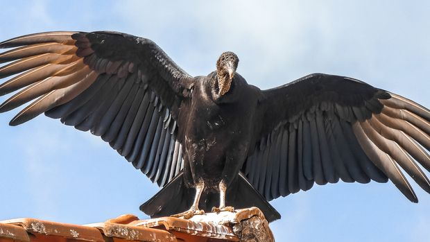 Photograph of a black vulture standing on a housetop, with its wings spread, in the rural city of Nova Resende in Minas Gerais state, Brazil.