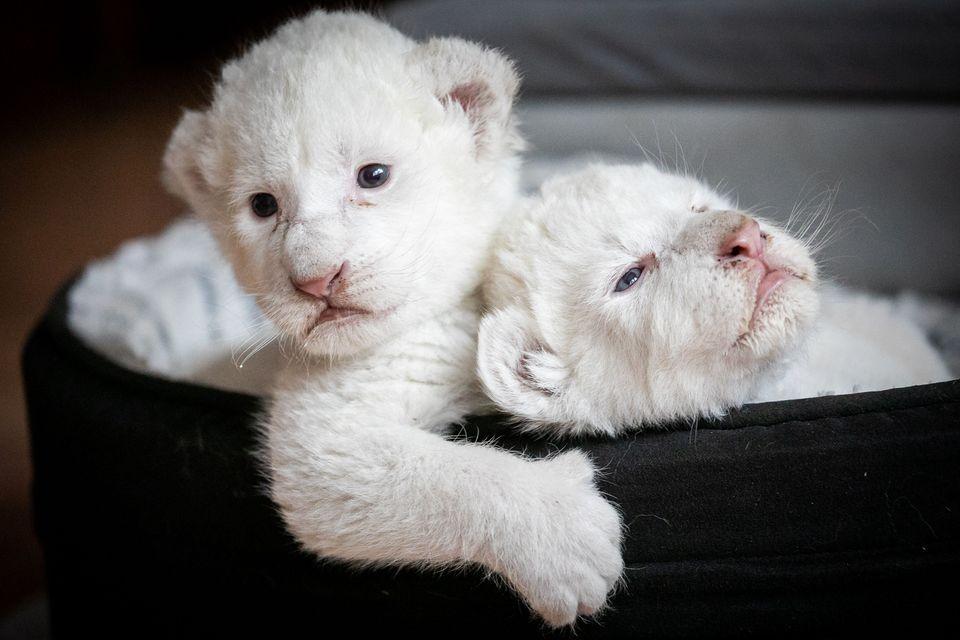 Δύο λευκά λιοντάρια βρίσκονται στο καλάθι τους στο σύλλογο Caresse de Tigre στη La Mailleraye-sur-Seine στη βορειοδυτική Γαλλία στις 11 Αυγούστου 2019. Τα μικρά λιοντάρια, με την ονομασία Νάλα και Σίμπα, γεννήθηκαν στα τέλη Ιουλίου.