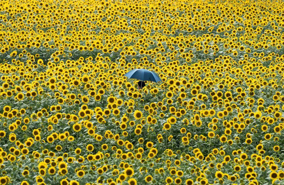 Ένας άνδρας περνάει μέσα από μία έκταση γεμάτη ηλιοτρόπια, στις 11 Αυγούστου, στο Χοκούτο, Γιαμνάσι στην Ιαπωνία. Η ετήσια καλοκαιρινή περίοδος διακοπών της χώρας, γνωστή ως Ομπόν (ή Μπον), ξεκίνησε στις 13 Αυγούστου.