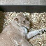 雌ライオンが生まれたての子2頭を食べる ドイツの動物園「悲しいお知らせ」