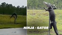 Cet alligator pourrait participer au championnat du monde d'escalade, la