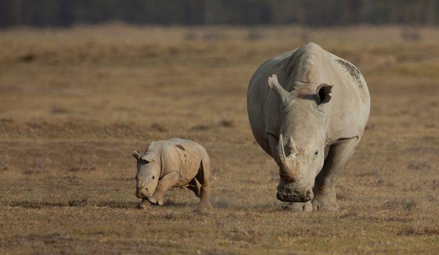 Le rhinocéros, noir comme blanc, fait partie des nombreuses espèces menacées qui...