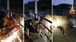 Toro incastrato con la testa nel recinto, i soccorritori lo salvano tra le scintille