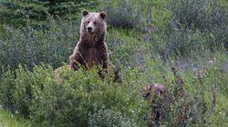 Un Français tué par un grizzli au