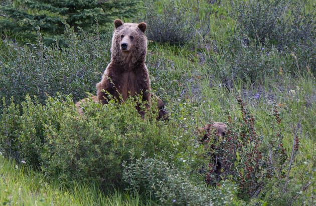 Photo d'illustration d'un grizzli dans un parc du Canada, en