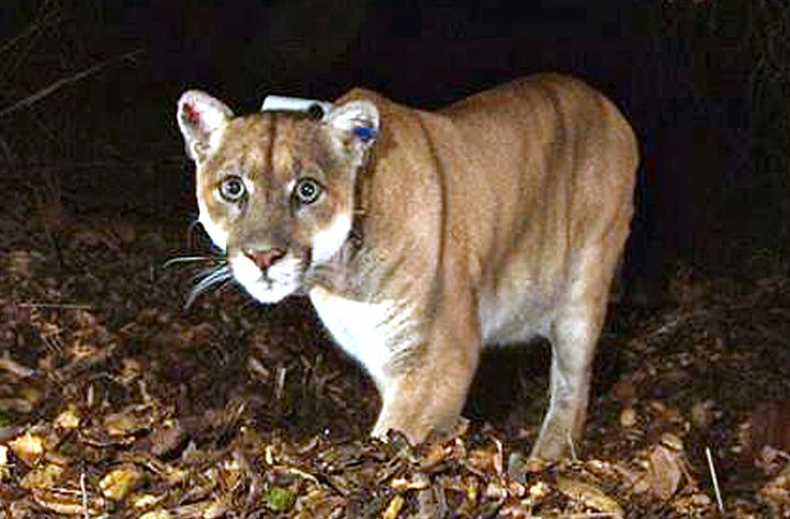 This November 2014 file photo shows a mountain lion known as P-22, photographed in the Griffith Park area near downtown Los A