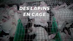 L214 montre des lapins entassés dans des cages minuscules dans les