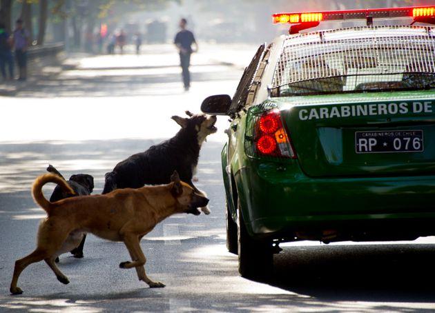 2013년 3월 28일. 칠레의 길거리 개들이 경찰차를 쫓아가고 있다. 칠레 대학의 연구에 의하면 칠레 인구의 40%가 1년에 한 번 개에 물린다고