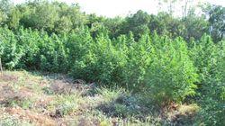 Συλλήψεις και ξερίζωμα μεγάλης φυτείας κάνναβης στα Βίλλια