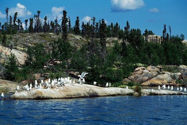 Seagulls sit on a rock at Great Slave Lake in the Northwest