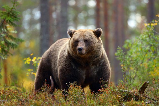 Un compositeur franco-canadien tué par un ours dans le Grand Nord