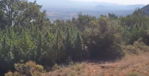 ΒΙΝΤΕΟ: Φυτεία με δενδρύλλια κάνναβης τριών μέτρων εντοπίστηκε στον