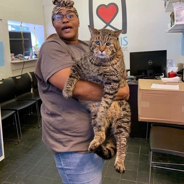 Unbelievably Large Shelter Cat Big Boi Mr. B Has The Internet Swooning