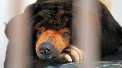 「悩むクマ」ツヨシ、人間なら90歳。