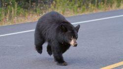 Un ours noir s'invite chez un