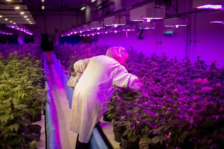 Production team member Justyna Cetnar removes dead leaves from cannabis plants in an aquaponics grow operation by licensed marijuana producer Green Relief in Flamborough, Ont., Jan. 25, 2019.