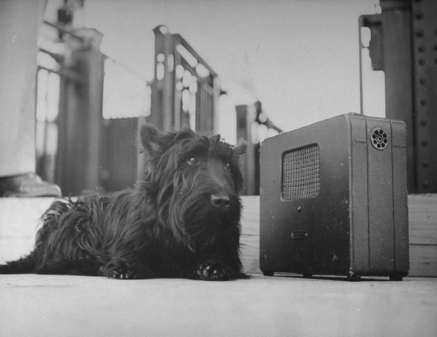Franklin D. Roosevelt's dog Fala, listening to the President's speech on the