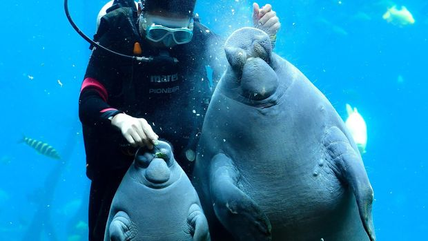 ZHUHAI, CHINA - AUGUST 19: A female African manatee cub 'Fei Fei', 50 days old and 50 kilograms in weight, makes its public debut with her mother at Chimelong Ocean Kingdom on August 19, 2019 in Zhuhai, Guangdong Province of China. (Photo by Chen Jimin/China News Service/Visual China Group via Getty Images via Getty Images)