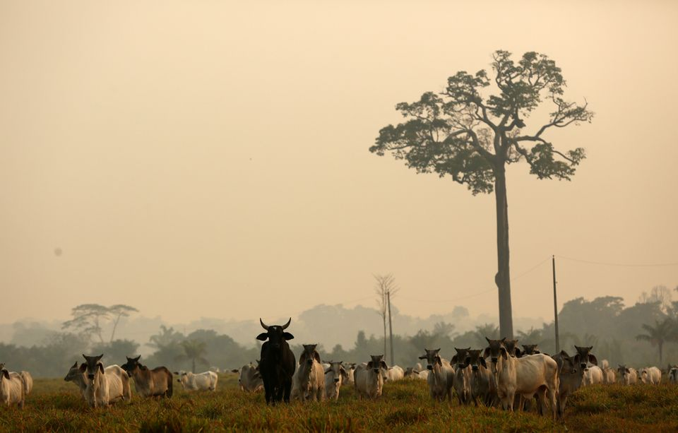 Description: Cattle are seen on a tract of Amazon jungle after a fire in Boca do Acre, Amazonas...