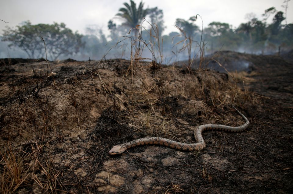 A snake is seen while a tract of the Amazon jungle burns as it is cleared by loggers and farmers in Porto...