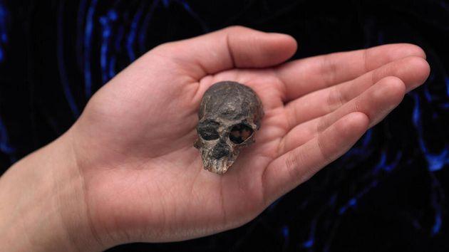 2000만년 전 영장류인 칠레세부스 카라스코엔시스(Chilecebuscarrascoensis)의 두개골 화석. 이 종의 화석 표본으로는