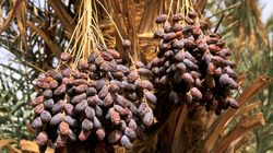 Production de dattes : plus de 1,6 million de quintaux prévue pour cette saison agricole à