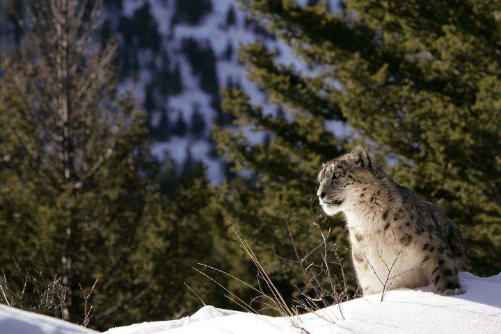 Sulle tracce dei leopardi delle nevi sulle vette dell'Himalaya, India