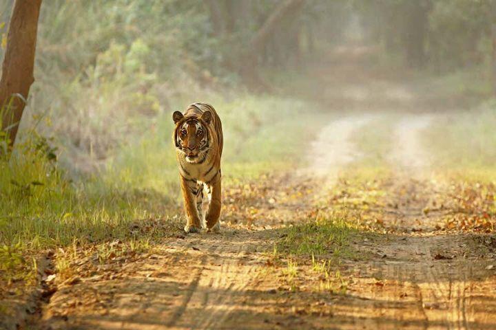La tigre del Bengala (India)