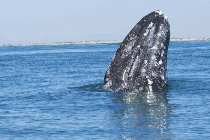 Balene nella Baja di California