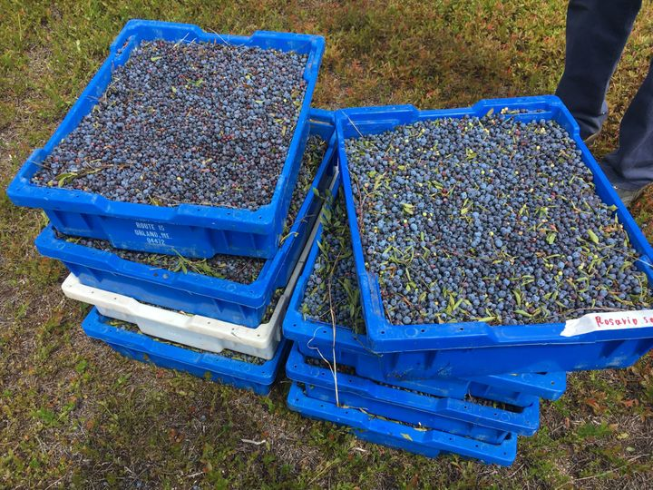 Blueberries that have been raked and stacked in boxes to load on a truck and freeze.