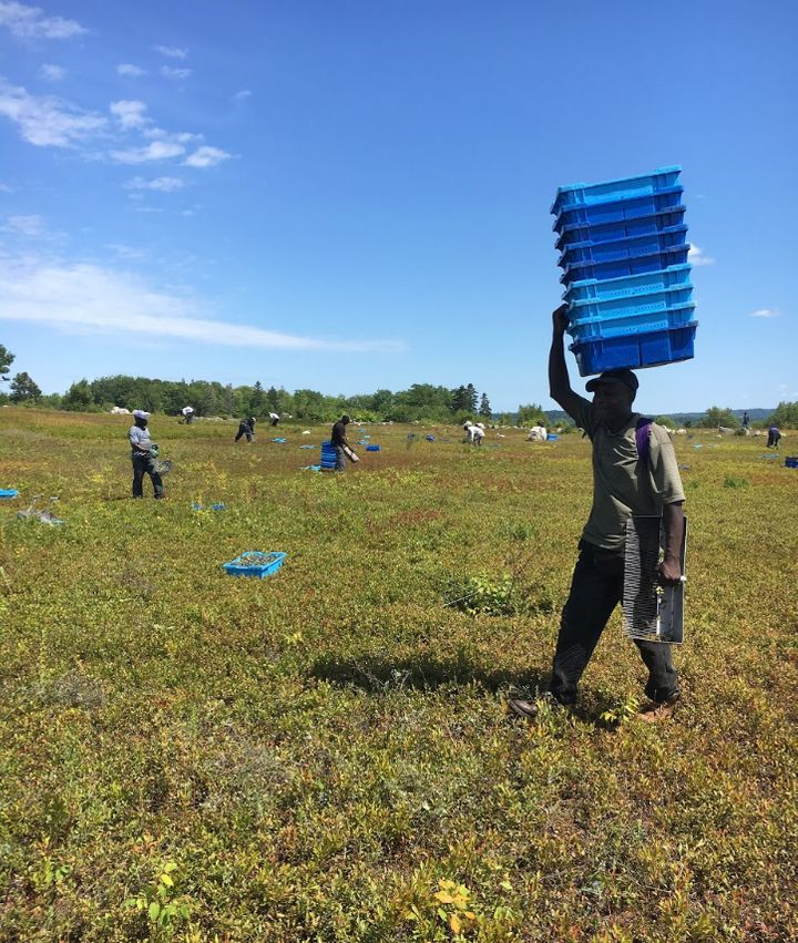 Chasing Blueberries: The Uncertainty Of Life As A Maine Berry Picker