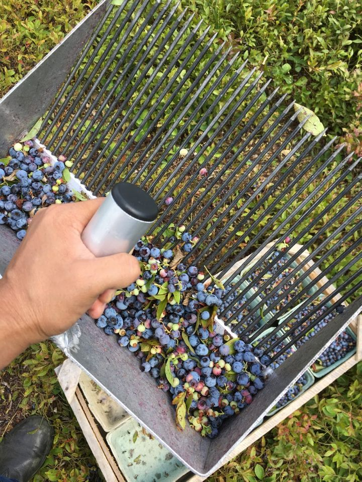 Rakes are used to grab blueberries from the low bushes.