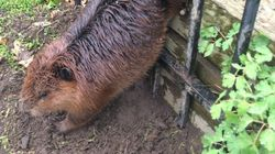 Fat Beaver Stuck In Hamilton Fence Rescued By City