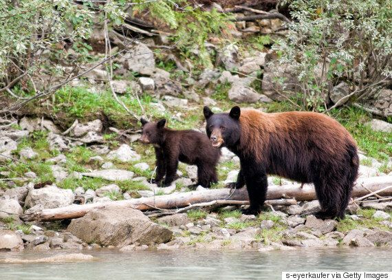 Ending B.C. Grizzly Trophy Hunt Shouldn't Be A Partisan