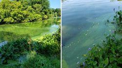 飲んだ犬が死ぬ、恐怖の「藻」がアメリカで問題に。ニューヨーク・セントラルパークでも発生