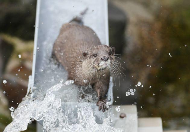 千葉県の市川市動植物園で、水を流した半円状のパイプの中をコツメカワウソが泳ぐ、「流しそうめん」ならぬ「流しカワウソ」が人気を集めている(2018年7月撮影)
