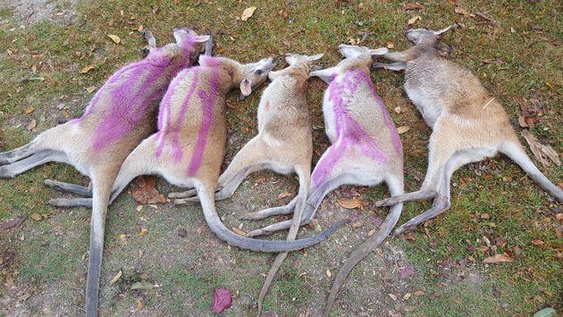 Ποιος σκοτώνει τα μικρά καγκουρό στην