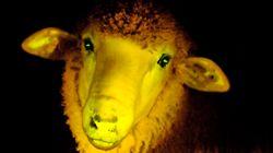 Científicos uruguayos crean 9 corderos fluorescentes