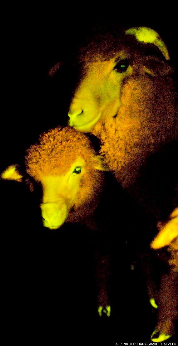 ¡Ovejas fluorescentes!: científicos uruguayos anuncian la producción de corderos que brillan