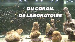 Du corail de l'Atlantique recréé en laboratoire pour sauver les