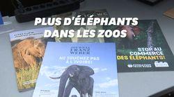 La vente d'éléphants pour la captivité est désormais